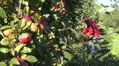 Tree branch with ripe fruits and blurred female fruit picker harvest apples. 4K Stock Footage