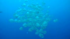 School of Orbicular batfish, circular batfish or orbiculate batfish  Stock Footage