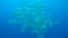 School of Orbicular batfish, circular batfish or orbiculate batfish  Stock Footage