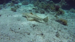 Tentacled Flathead or Crocodilefish (Papilloculiceps longiceps) Stock Footage