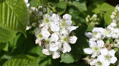 Bee collects nectar on the flowers of blackberry Stock Footage