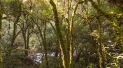 Morning sunlight streaming through mossy cloudforest. Time-lapse pan. Stock Footage