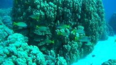 School of fish Blackspotted Rubberlip (Plectorhinchus gaterinus)  Stock Footage