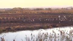 Hula lake birds at sunset Stock Footage