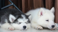 Two siberian husky puppies resting Stock Footage