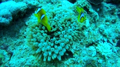 Two two-banded Anemonefish or Orange-fin anemonefish (Amphiprion chrysopterus) Stock Footage