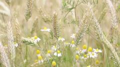 Background of dasy and cereal plant Stock Footage