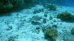 Blue-spotted stingray (Taeniura lymma) Stock Footage