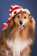 Sheltie dog with funny cap - stock photo