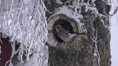 Eurasian jay perching in a hole of snow covered birch tree Stock Footage