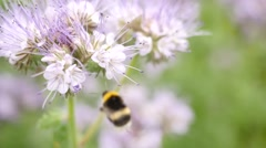 Purple Tansy field with bumblebee. Detail of green blue pink blossom Stock Footage