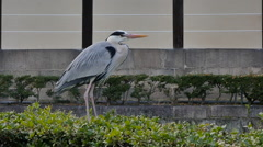 Grey Heron flying,slow motion Stock Footage