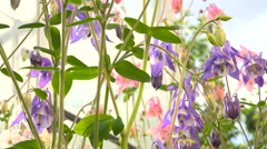 Aquilegia Flowers on a White Background in a Garden View Slaydors Stock Footage