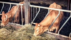Cows eating hay in cowshed. Agricultural concept. 4k - stock footage