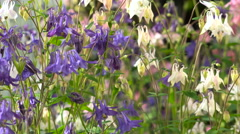 Flower of Aquilegia White Blue Pink Stock Footage