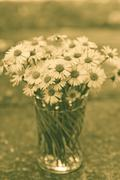 White daisy flowers in a glass blurred backgroung Aster daisy composite flowe Stock Photos
