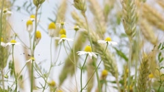 Abstract background of cereal plant Stock Footage