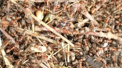 Wild red ants build their anthill, big piece of charred wood. Stock Footage