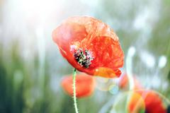 Shot of poppies on defocused background and flare Stock Photos