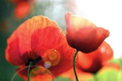 Shot of poppies on defocused background and flare - stock photo
