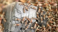 Ant family - colony cooperate on new ant hill building. Stock Footage