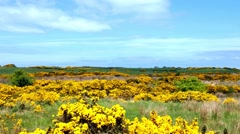 gorse, typical plant in Northern Ireland - stock footage