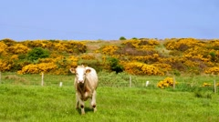 cow on a meadow and gorse, typical plant in Northern Ireland - stock footage