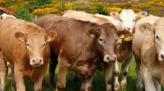 cows on a meadow and gorse, typical plant in Northern Ireland - stock footage