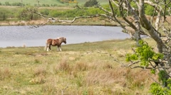 Horse at a lake, Northern Ireland Stock Footage