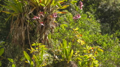 Zoom to an orchid Oncidium cucullatum growing in cloudforest  Stock Footage