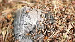 Wild ants build their anthill, big piece of charred wood. Ant colony cooperate Stock Footage