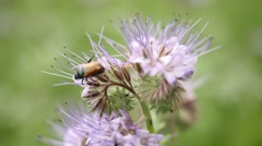 Purple Tansy blossom with green orange beetle. Detail of  flower Stock Footage