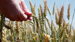 Close up of farmer's hands checking wheat ears crop in the field against the sky Stock Footage
