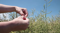 Agronomist's hands checking seeds of rape plants in the rapeseed field Stock Footage