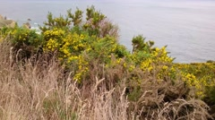 Wild autumn flower alongside Tunnel Beach, Dunedin Stock Footage