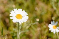 Little White Daisy Flower - stock photo