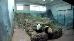 Two cute pandas with feed on stones in room, action camera Stock Footage