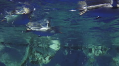 Gentoo penguins swim underwater Stock Footage
