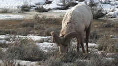 Bighorn sheep (Ovis canadensis )ram Stock Footage