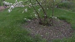 Flowering shrubs white flowers. Camera moving. Stock Footage