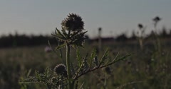 Wild herbal plant on a meadow at sunset.Captured in Slow Motion. Stock Footage