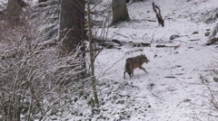 Gray wolf in winter forest Stock Footage