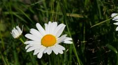 Flower Kamile Tripleurospermum 4k shot Stock Footage