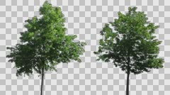 Real Tree Isolated On The Wind MIX  Stock Footage