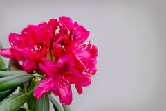 Beautiful red Rhododendronisolated on gray. Stock Photos