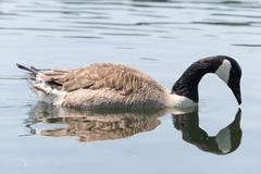Canada Goose (Kanada Gans) swimming - stock photo