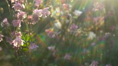Flowers Aquilegia White and Pink in the Garden Abstract Iridescent Light Across - stock footage