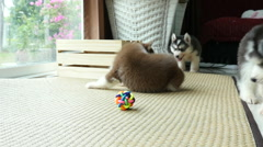 Cute siberian husky puppies playing toy - stock footage
