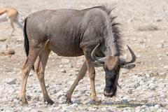 Blue Wildebeest (Brindled Gnu) - stock photo