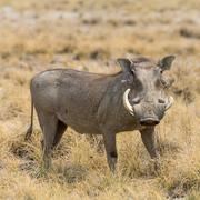 Portrait of a Warthog Stock Photos